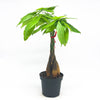 Pachira Aquatica 'Braided Money Tree' 4""