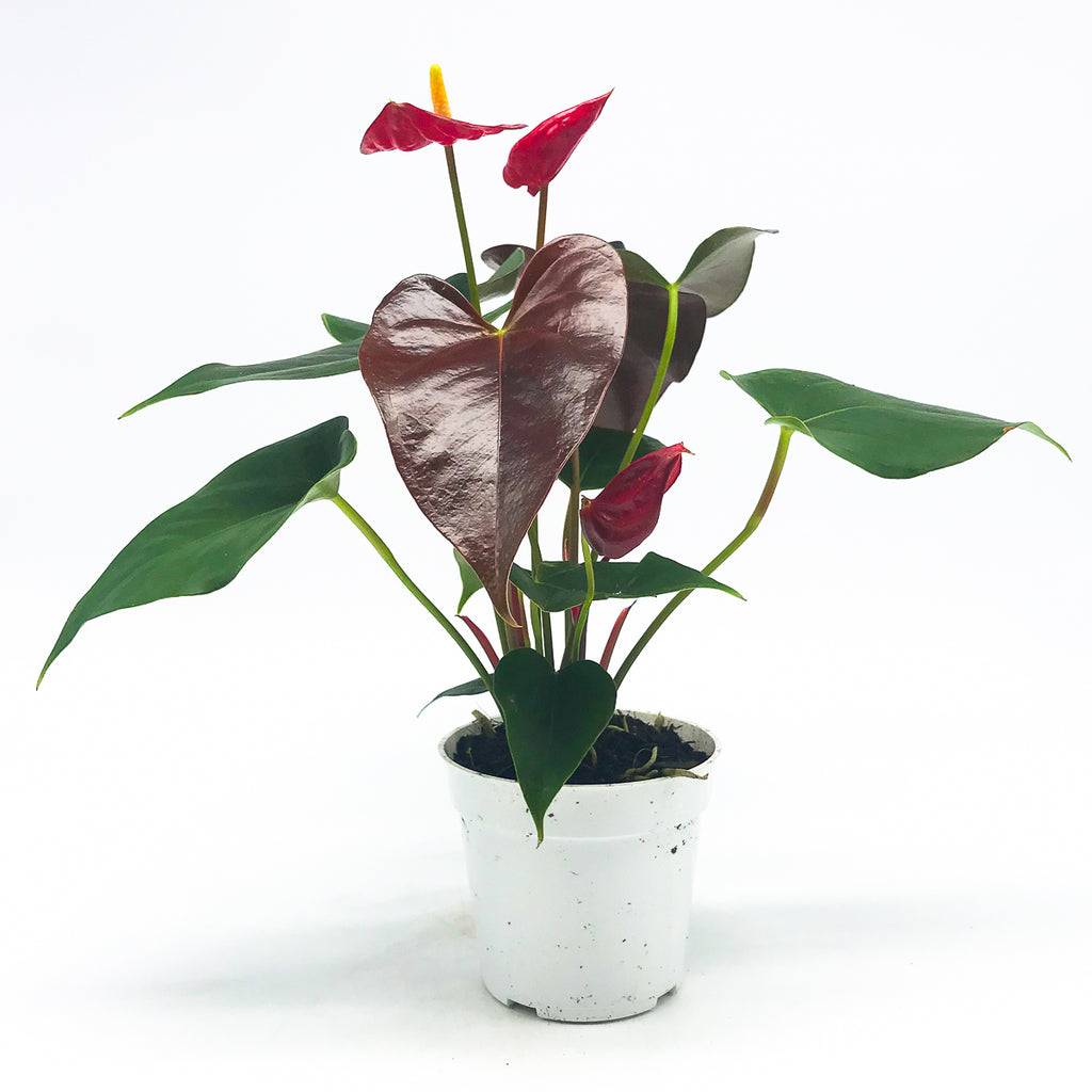 Anthurium 'Red' 4""
