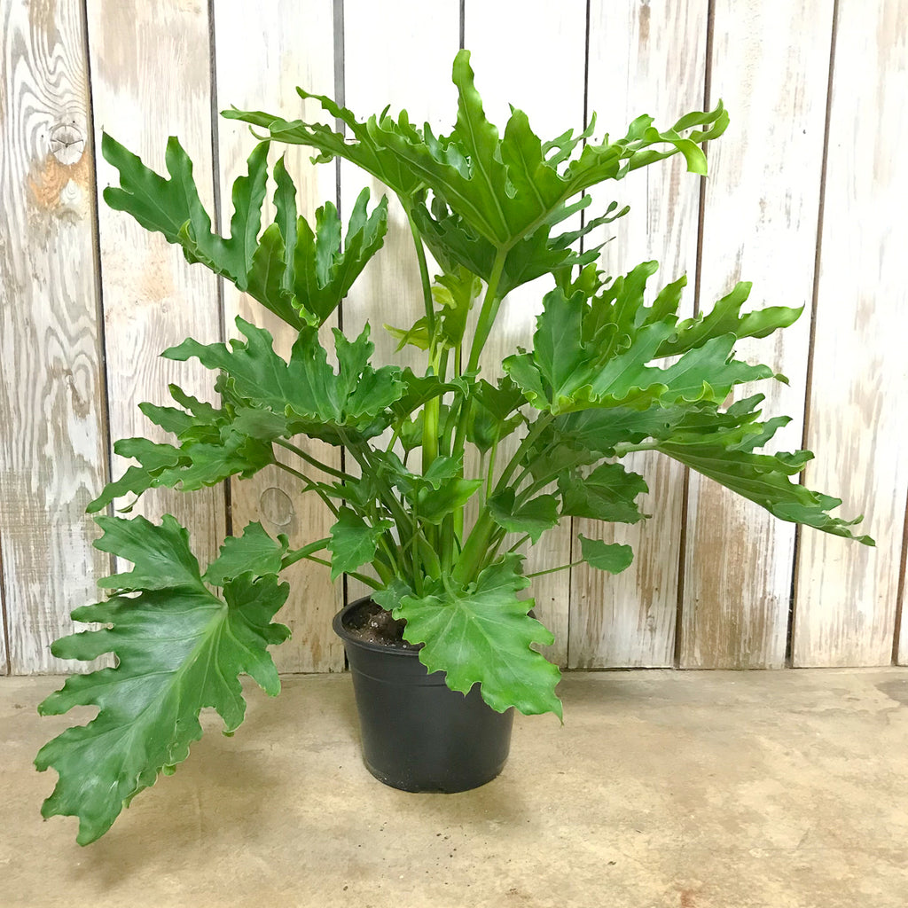 Philodendron 'Lickety Split' 8""