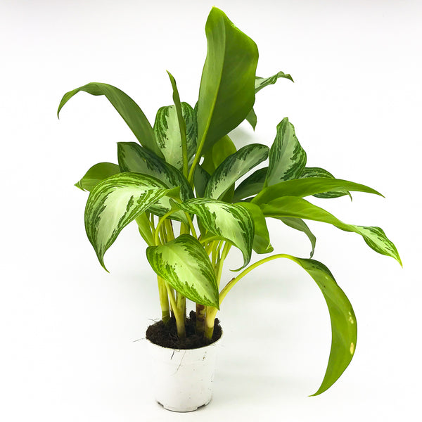 Aglaonema 'Silver Bay' - Chinese Evergreen 4""