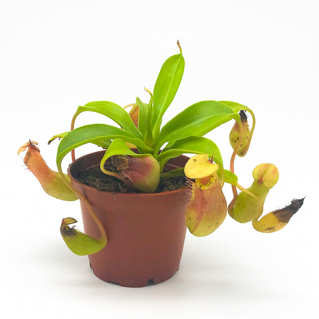 Monkey Cup 'Asian Pitcher Plant' 2.5""