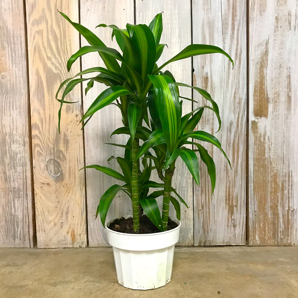 Dracaena Hawaiian Sunshine 6""