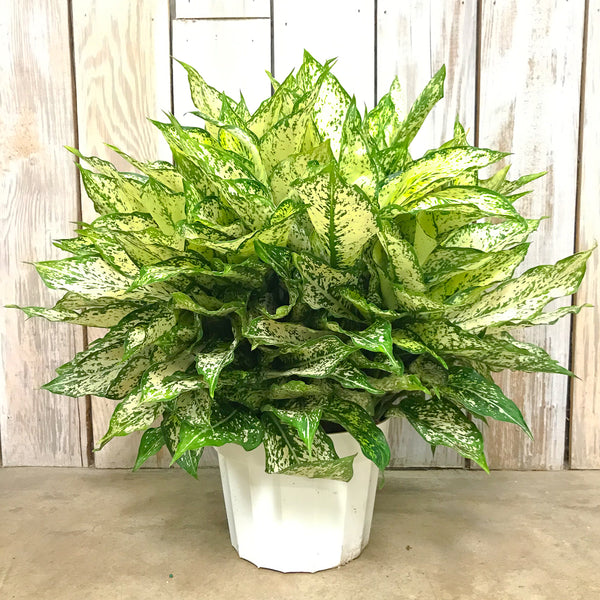 Aglaonema 'First Diamond - Chinese Evergreen 8""