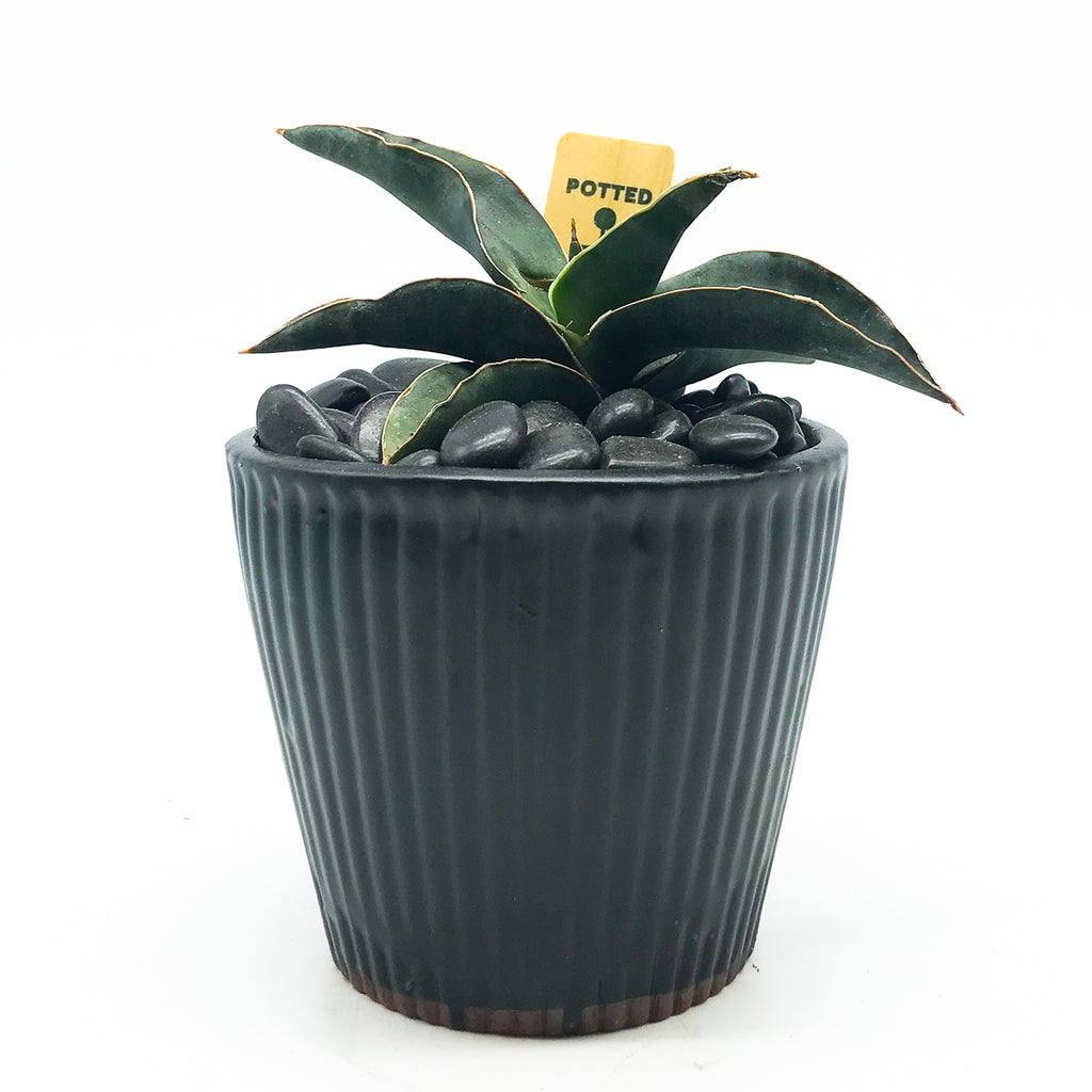 Black pot with Sansevieria Samurai