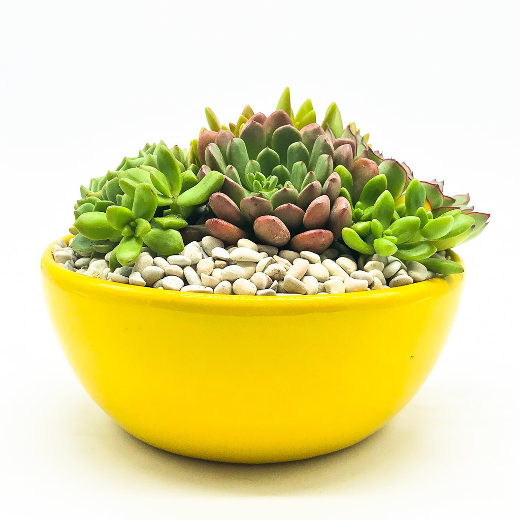 Yellow Planter with assorted succulents