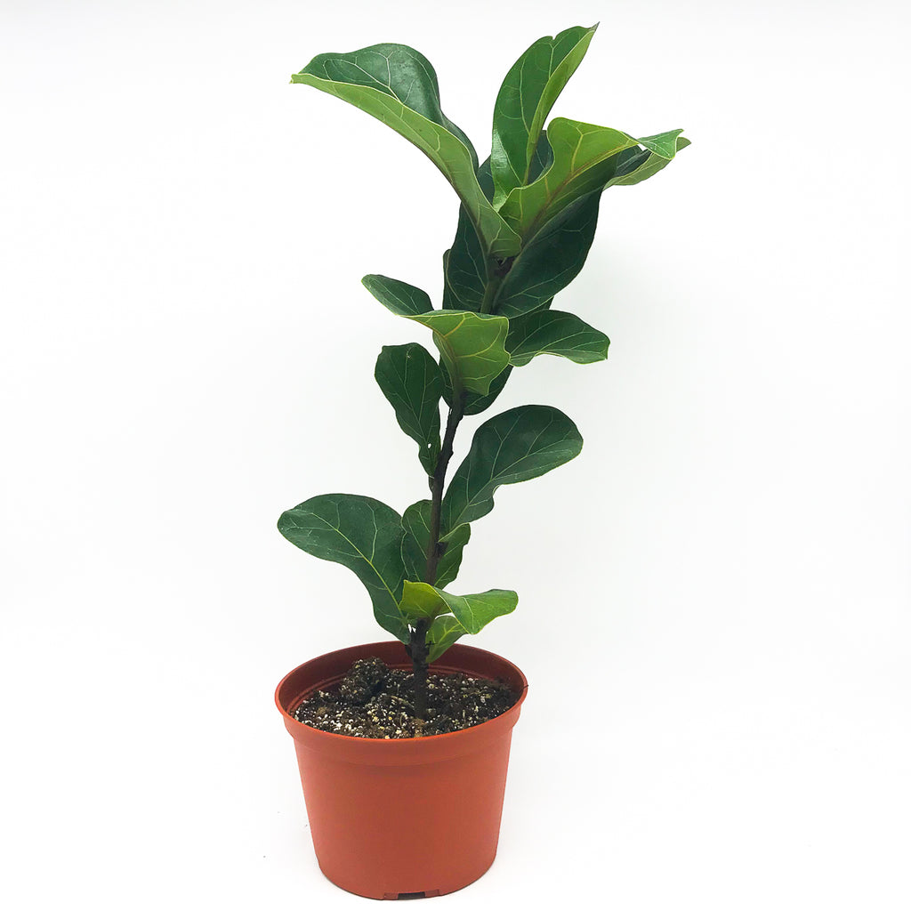Ficus Lyrata 'Fiddle Leaf Fig' 6""