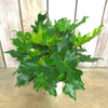 Philodendron Selloum 'Little Hope' 6""