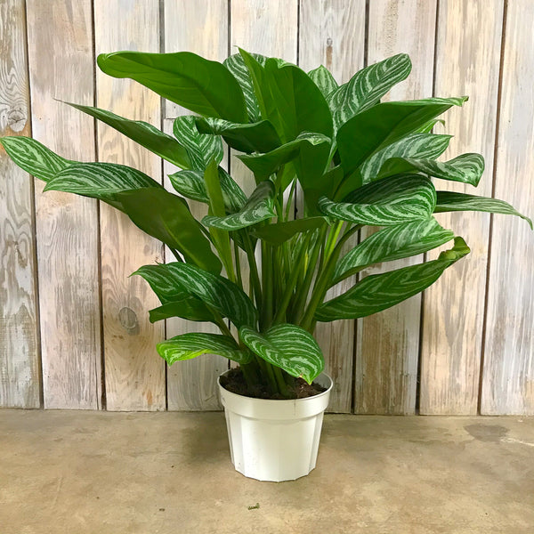 Aglaonema 'Stripes' - Chinese Evergreen 8""