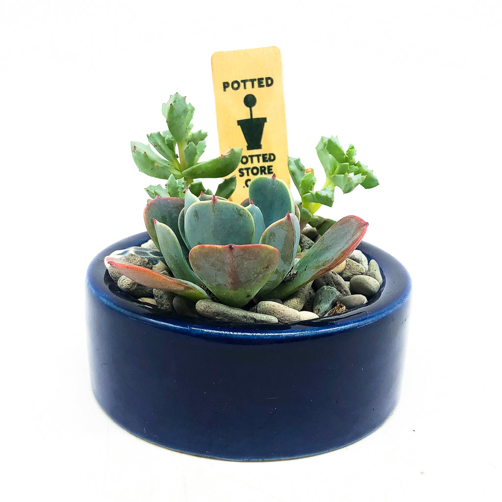 Round blue planter with assorted succulents