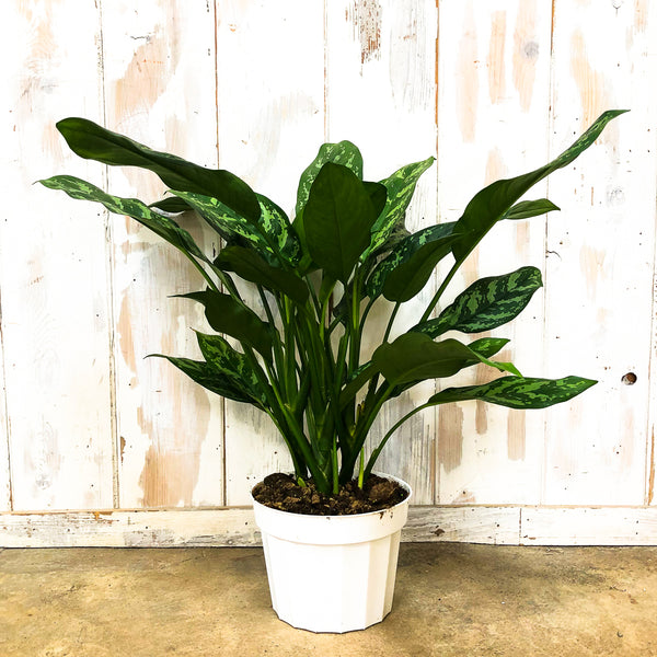 Aglaonema 'Gemini' - Chinese Evergreen 8""