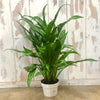 Aglaonema 'Cutlass' - Chinese Evergreen 6""
