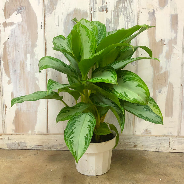 Aglaonema 'Leprechaun' - Chinese Evergreen 6""