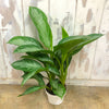 Aglaonema 'Silver Bay' - Chinese Evergreen 6""