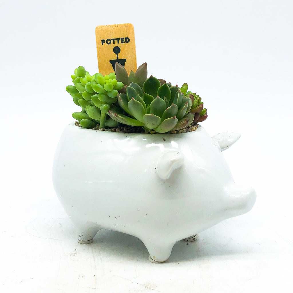 White piggy planter with assorted succulents