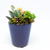 Blue glazed planter with assorted succulents