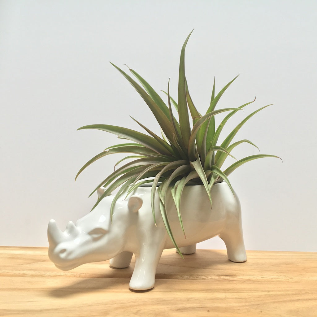 White Rhino Planter with air plant.