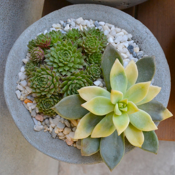 Succulent planting of an aeonium and sempervivum in a concrete bowl.