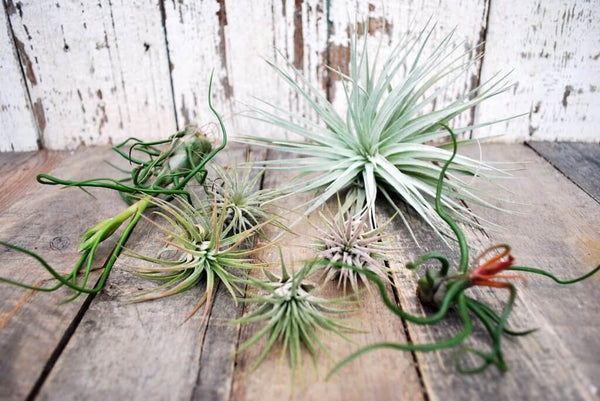 An assortment of air plants on a wooden table.