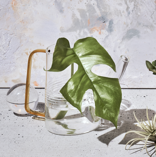 Sprocket Glass Watering Can with monstera leaf