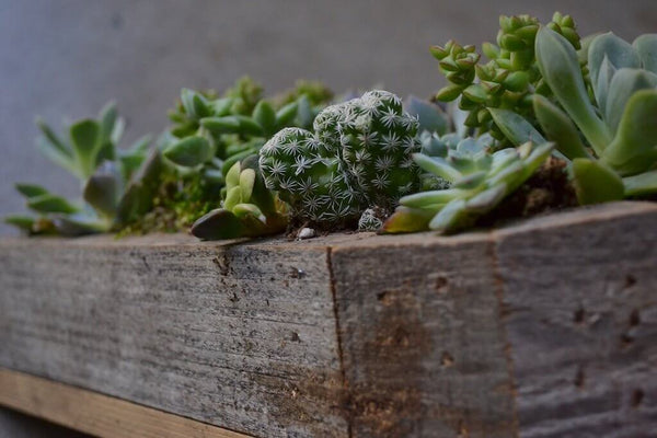 Extreme close up of succulents in wooden planter.