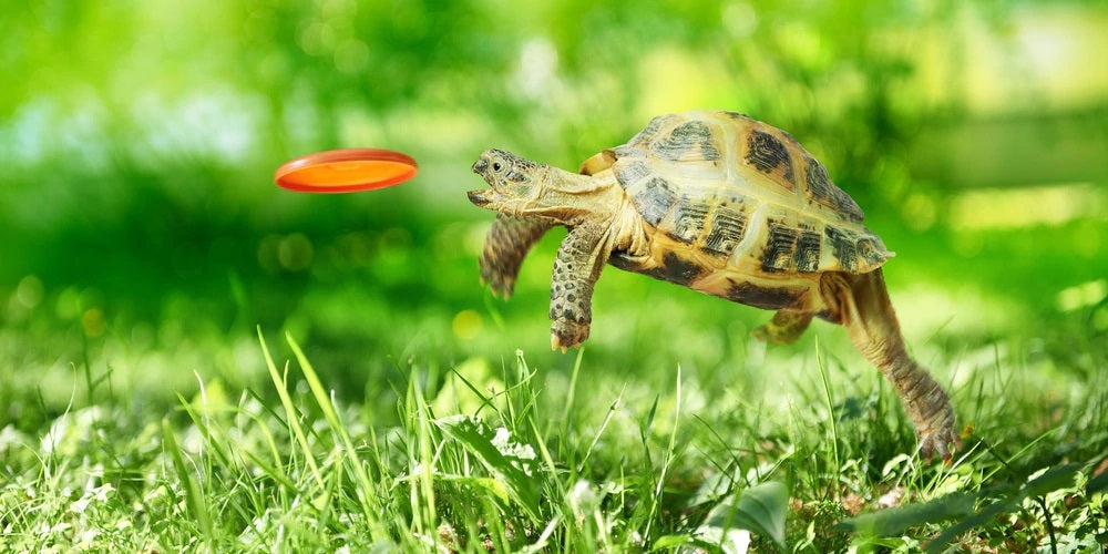 Pic of turtle catching frisbee to indicate it is never too late to learn something new