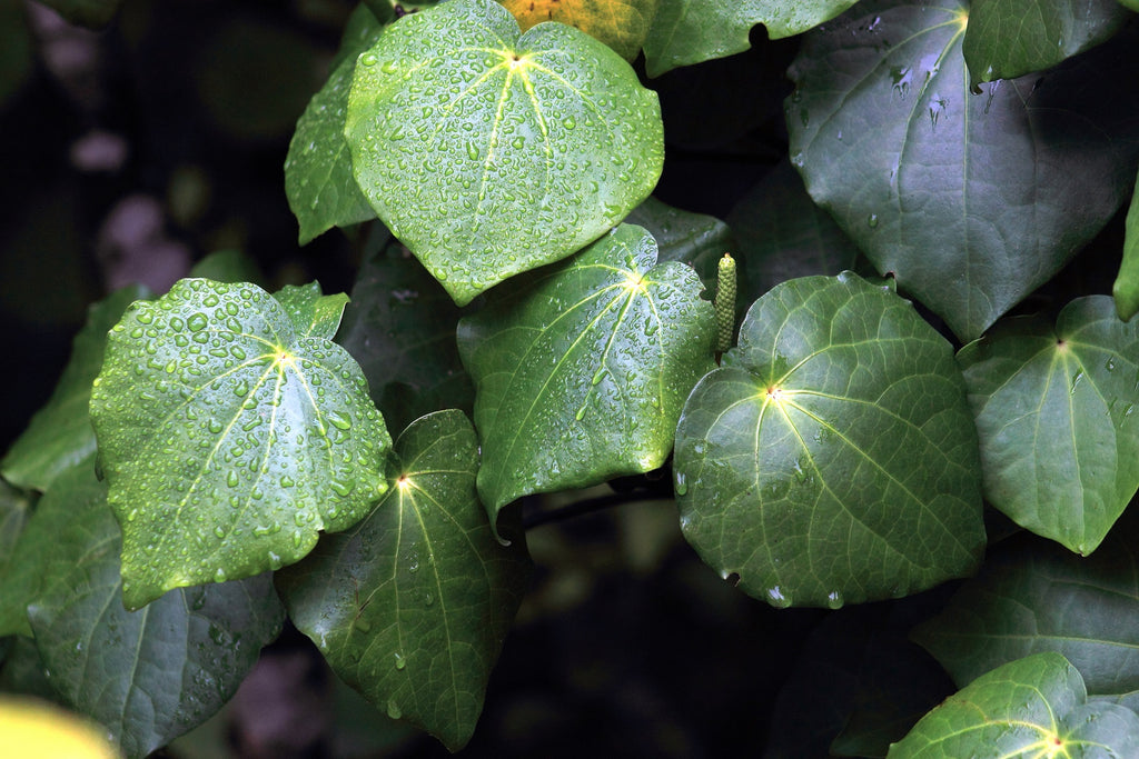 Why Kawakawa oil is so good for our skin