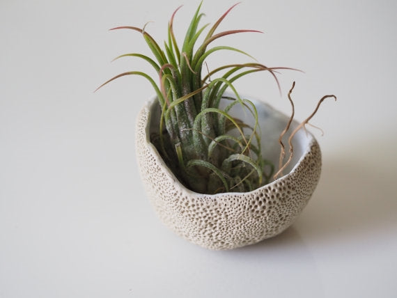 Natural Seasponge Airplant Dish