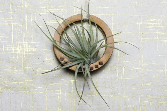 Wood Circle Air Plant Wall Holder + Airplant