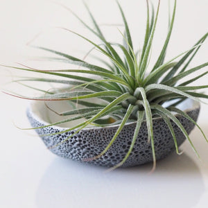 Gray Seasponge Airplant Dish