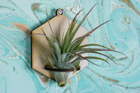 Laser Cut Air Plant Terrarium + Airplant