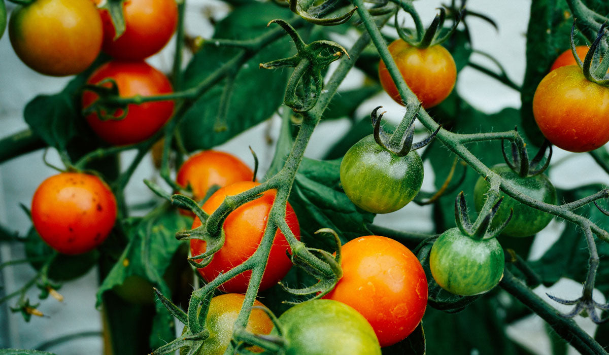 skincare superfoods tomato plant