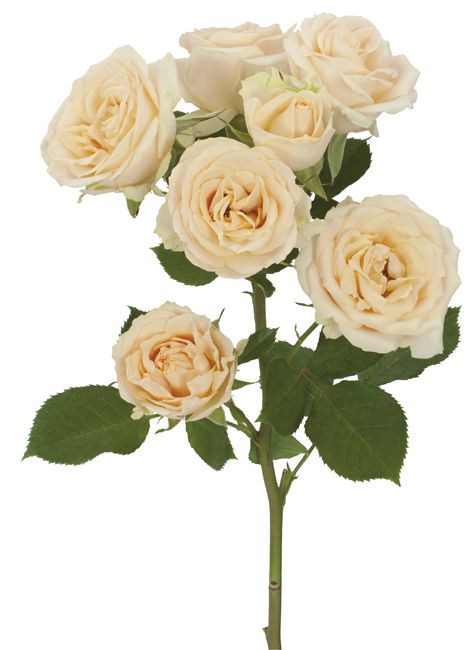 Salinero Spray Rose Bunch