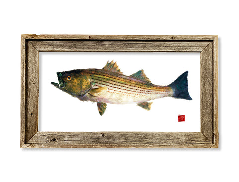 Framed striped bass with color  26 x 16 framed print