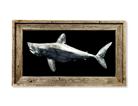 Framed Porbeagle Shark  26 x 16 framed print