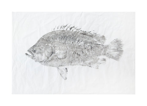 Tripletail  Original Print - unframed
