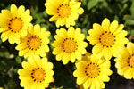 Wild Chrysanthemum to treat allergic reactions