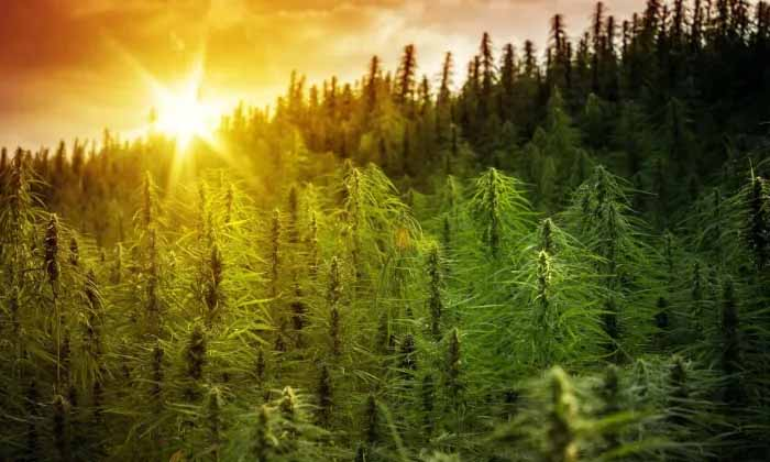 What's the big deal about hemp?