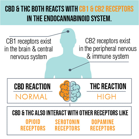 CBD and THC both react with CB1 & CB2 receptors in the endocannabinoid system