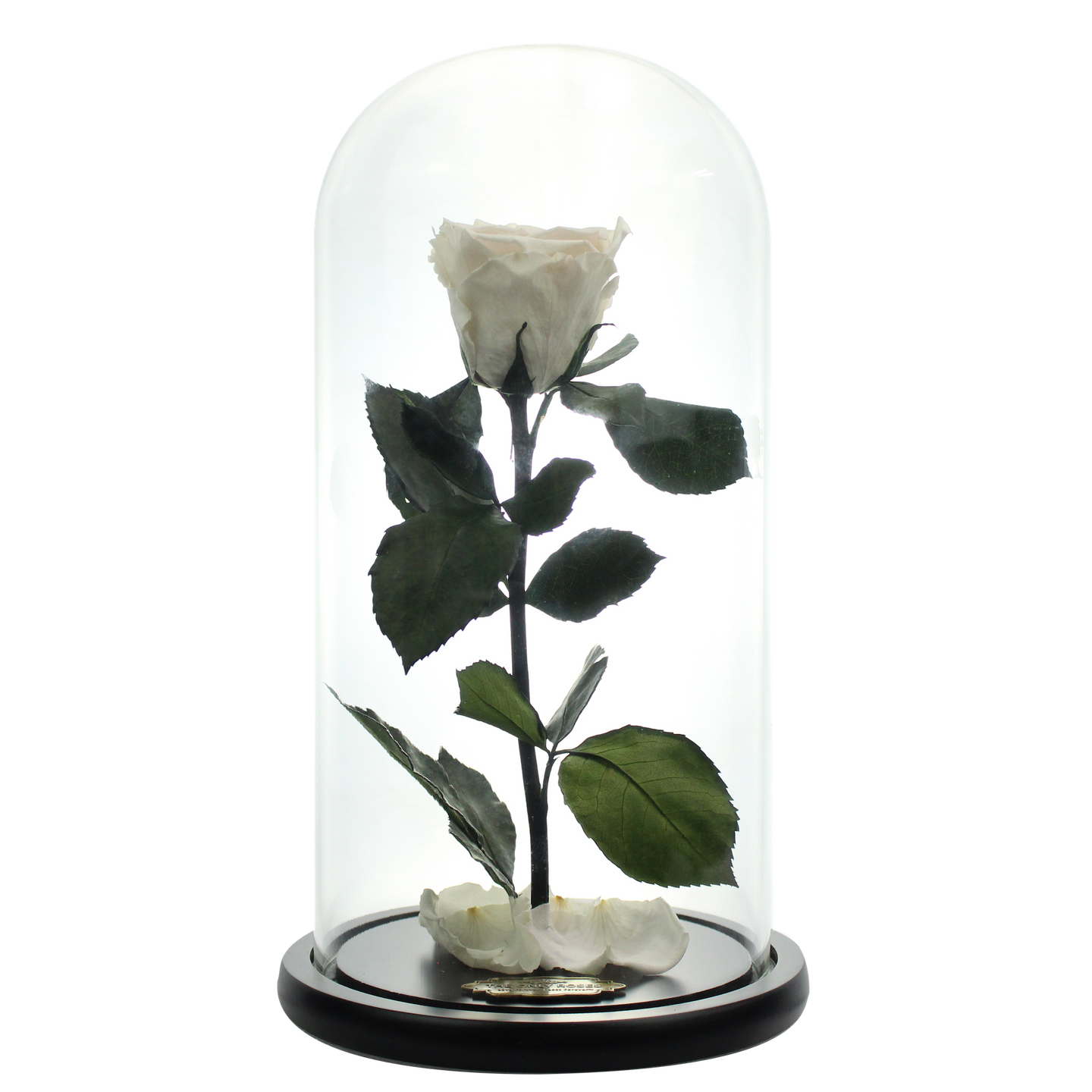White Preserved Rose Beauty And The Beast Glass Dome Theonlyroses