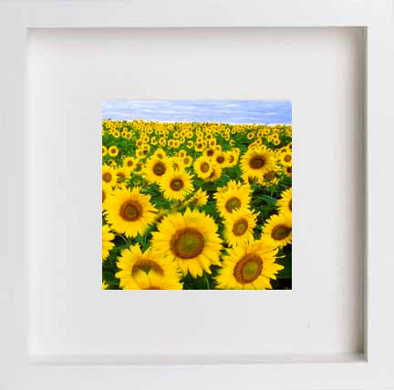 France Dordoigne Sunflowers 0270 - [Lumartos]