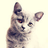 Pets British Shorthair Cat 0279 - LUMARTOS