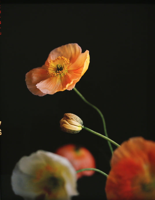Tim Ashton, Poppies #7, 2019, $2,800 AUD