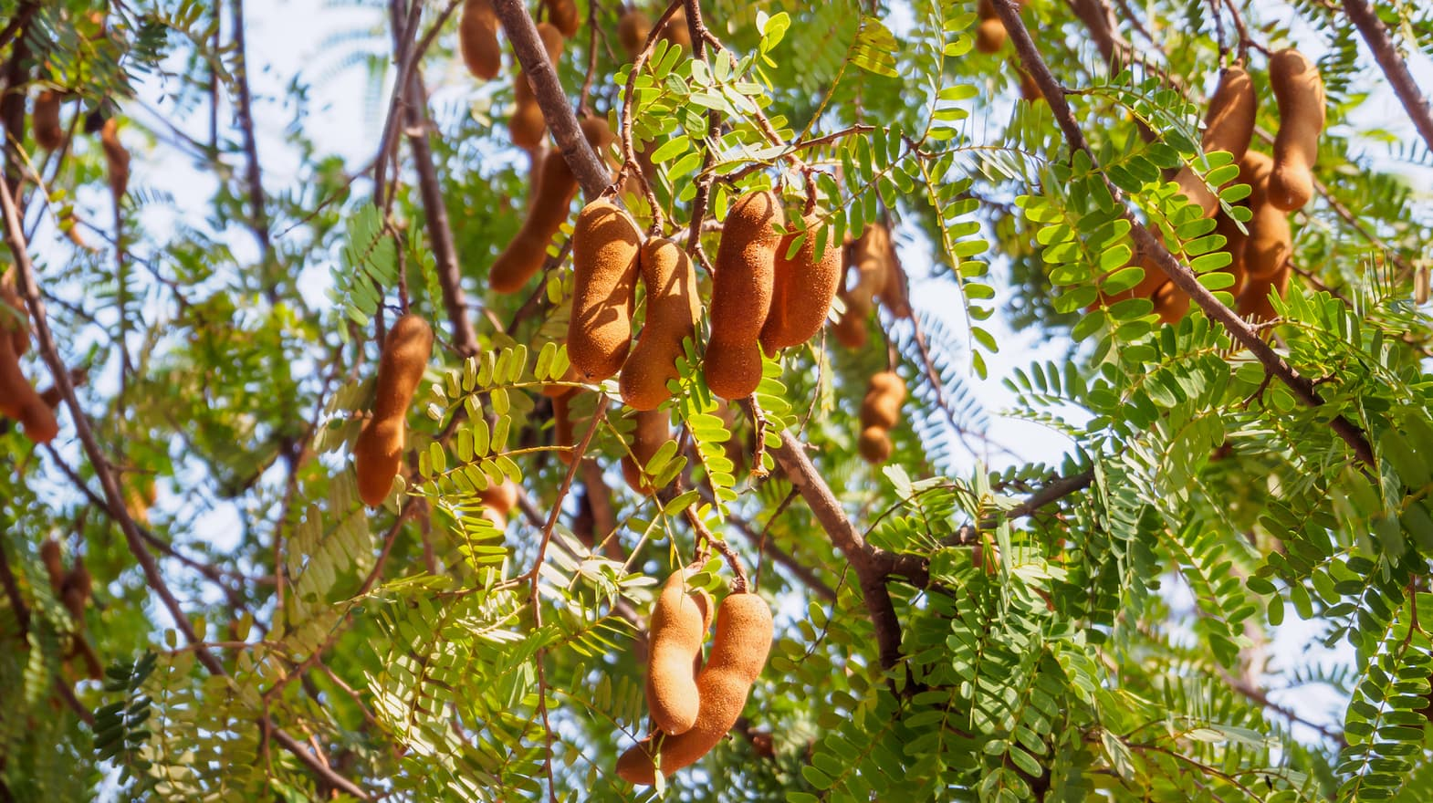A Guide To Tamarind Paste And Tamarind Water Sous Chef Uk