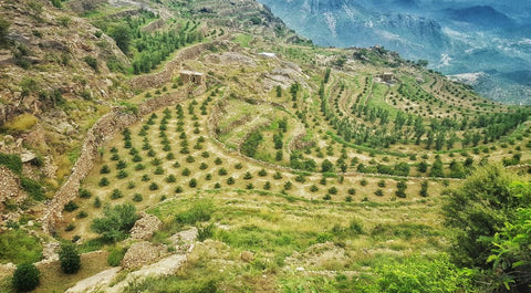 A Yemen coffee farm with rolling hills and coffee plants