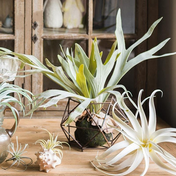 Staghorn Fern Decor