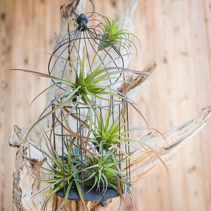 Artificial Tillandsia Capitata Stem Randomly Picked Set of 5 RusticReach