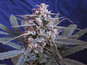 Wife x Cherry Blossom Feminized Seeds