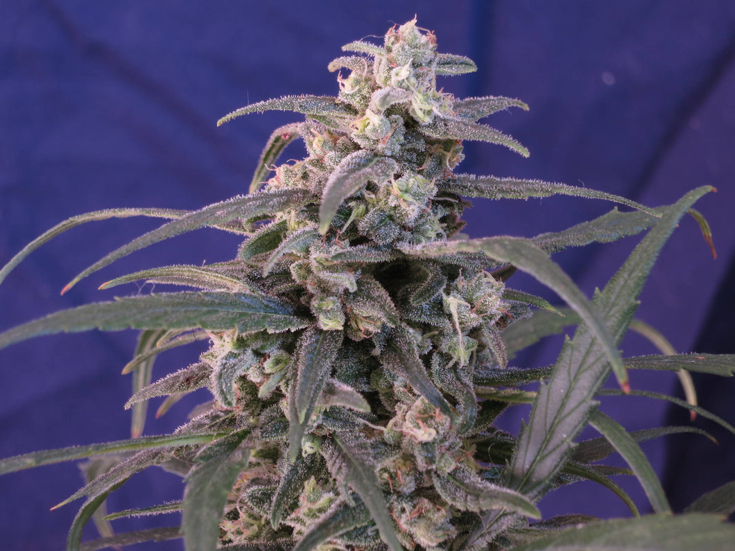 Cherry Blossom Feminized Seeds