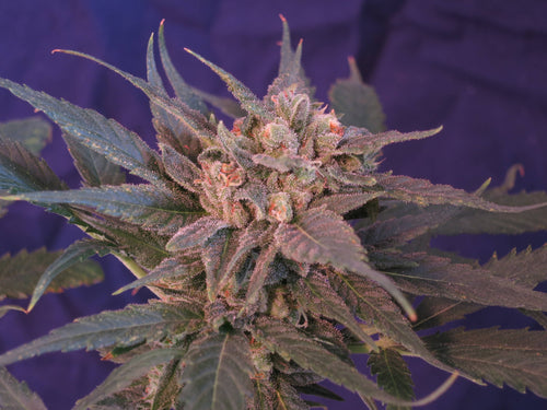 4th Dimension x Cherry Blossom Feminized Seeds