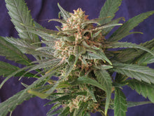 Load image into Gallery viewer, Sweet Grass x Cherry Blossom Feminized Seeds
